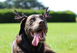 Dog with antlers